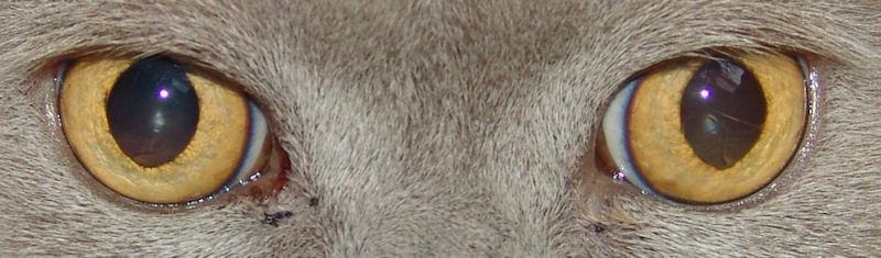 Bluthochdruck bei Katzen kann eine Netzhautablösung verursachen